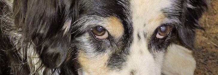 白内障の犬のイメージ