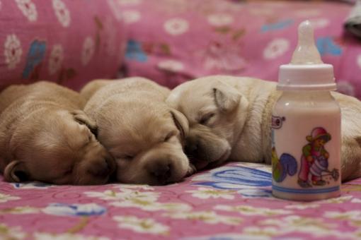 子犬 ミルク